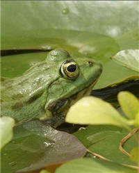 Frog in a Lily Pond