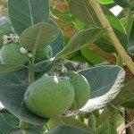 Arare Fruit